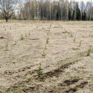meža stādīšana
